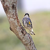 Yellow-Rumped Warbler (Male)
