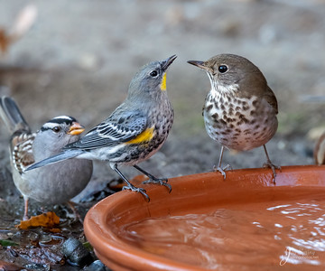Yellow Rumped Warbler, Hermit Thrush and White Crowned Sparrow