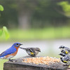 Left:  Eastern Bluebird (Male)<br /> Middle: Yellow-Rumped Warbler (Female)<br /> Right: Yellow-Rumped Warbler (Males)