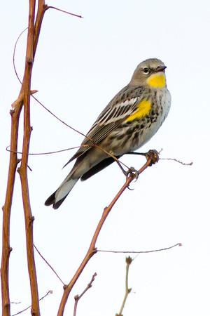Audobon's/Yellow-Rumped Warbler (Female)
