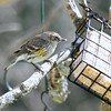 Joy Bell, our female Yellow-Rumped Warbler, discovers the fresh suet cake!