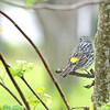 Yellow-Rumped Warbler (Female)