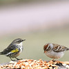 Left to right:  Yellow-Rumped Warbler and Chipping Sparrow