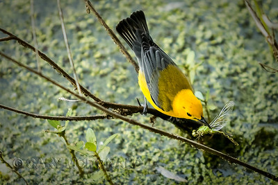 Yellow Warbler with a dragon fly