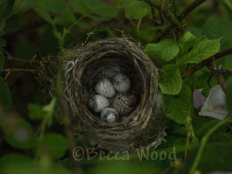 DP 09JL7426<br /> <br /> Yellow Warbler nest with Brown-headed Cowbird egg (2nd egg on the right).  These hatched 4 days after these photos were taken.