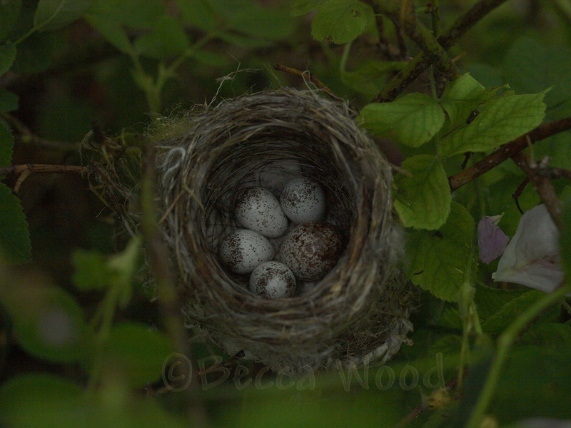 DP 09JL7425<br /> <br /> Yellow Warbler nest with Brown-headed Cowbird egg (2nd egg on the right).  These hatched 4 days after these photos were taken.