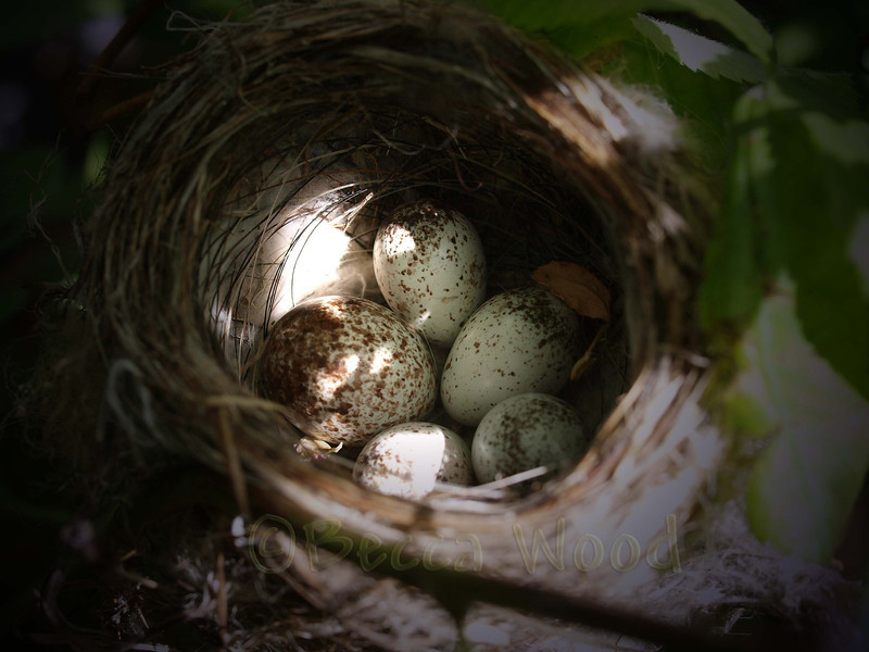 DP 09JL7406<br /> <br /> Yellow Warbler nest with Brown-headed Cowbird egg (2nd egg on the left).  These hatched 4 days after these photos were taken.