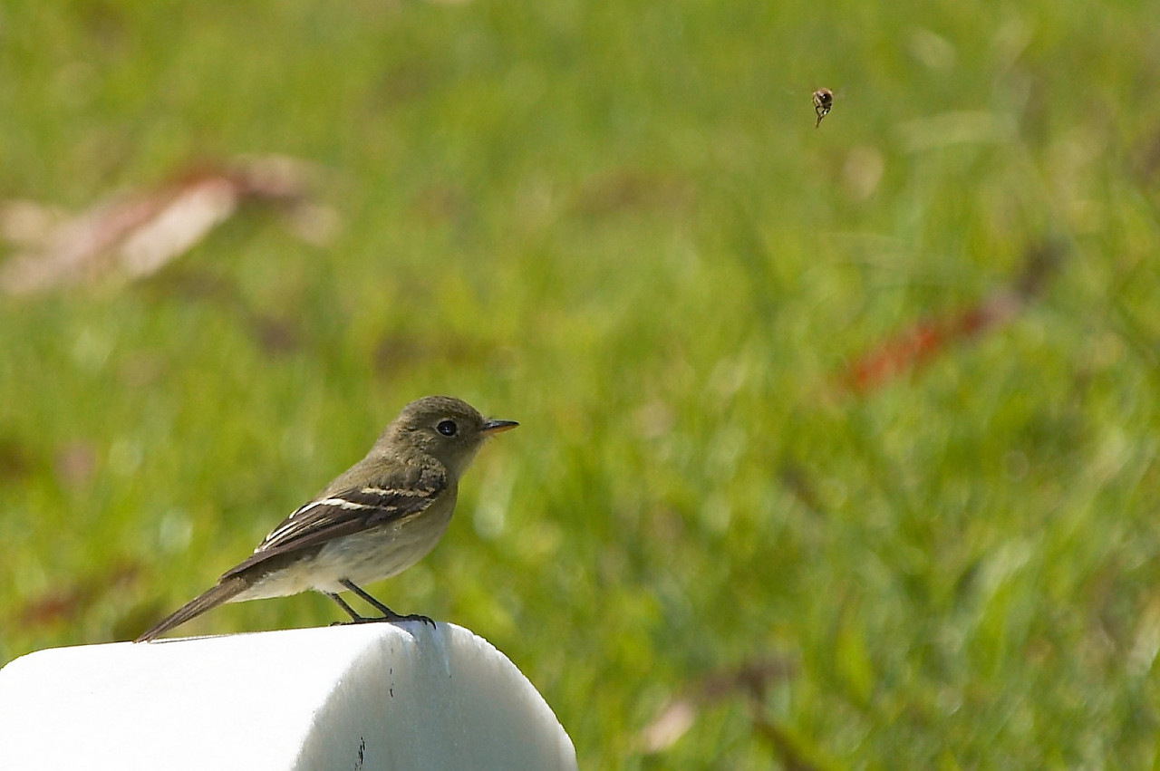 Yellow-bellied Flycatcher with a Fly in range (upper right)