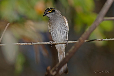 Yellow-faced Honeyeater