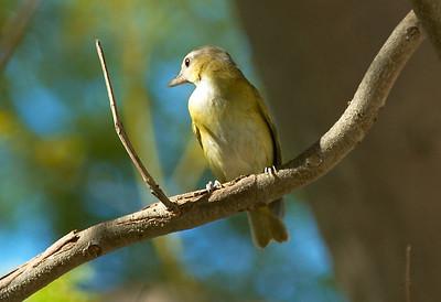 Yellow-green Vireo