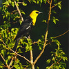 Yellow-headed Blackbird :