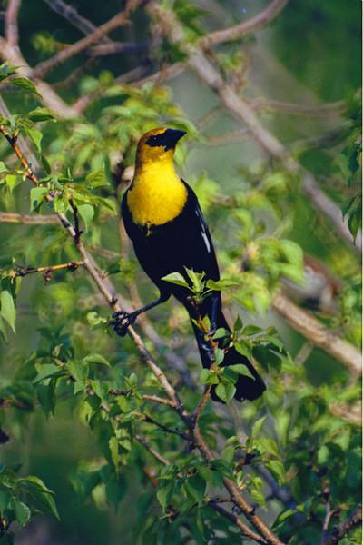 North America, USA, Minnesota, Yellow-headed Blackbird