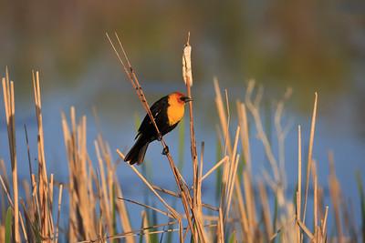 Yellow-headed Blackbird