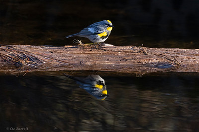 0U2A9049_reflections Yellow-rumped warbler