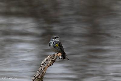 Yellow Rumped Warbler0U2A0769