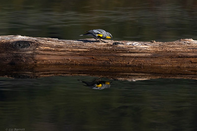 0U2A9193_Yellow-rumped Warbler