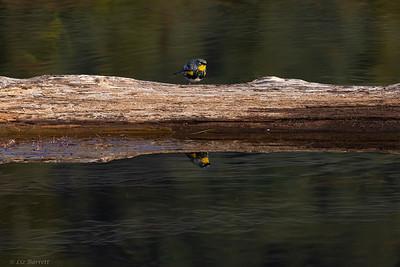 0U2A9169_Yellow-rumped Warbler