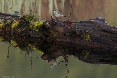 0U2A8982_Reflections Tellow-rumped Warbler