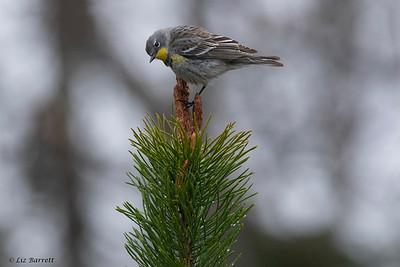 0U2A8195_Yellow-rumped Warblers