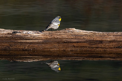0U2A9209 Yellow-rumped Warbler