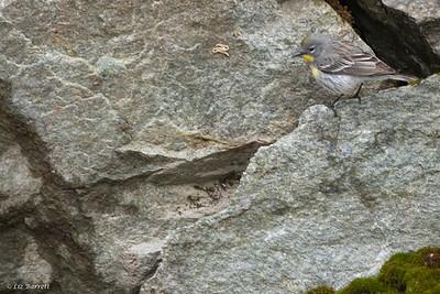 0U2A8180_Yellow-rumped warbler
