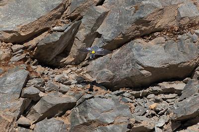 0U2A4779_Yellow Rumped Warbler