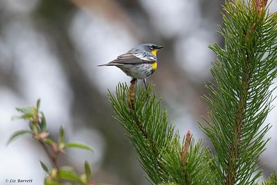 0U2A8187 _Yellow-rumped Warbler_