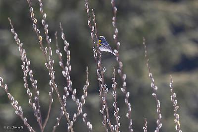 0U2A4771_Yellow-rumped warbler