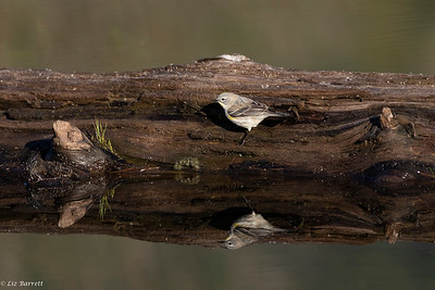 0U2A9003_Reflections Yellow-rumped Warbler