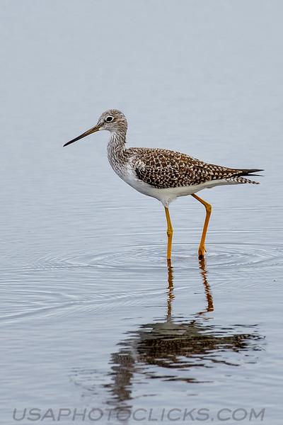 Greater Yellow Legs (b3141)
