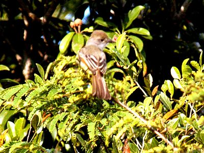 Brown-crowned Flycatcher