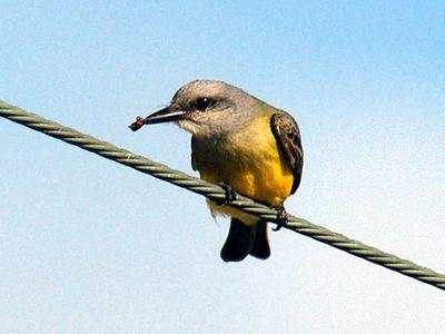 Tropical Kingbird