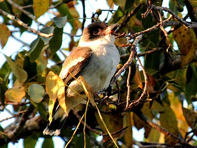 Black-crowned Titra
