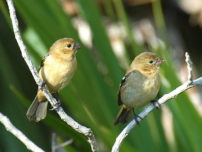 White-collared Seedeaters (females)