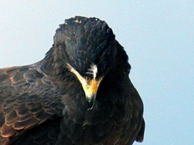 Common Black Hawk (note unusual white stripe above beak)