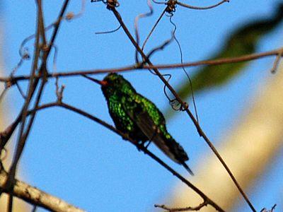 Canivet's Emerald Hummingbird