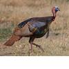 Wild Turkey (2562)