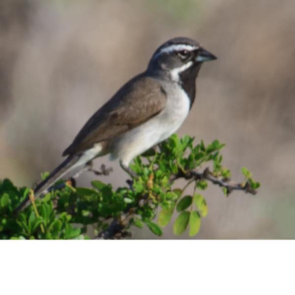 Black Throated Sparrow (b2101)