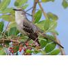Northern Mockingbird (b1372)