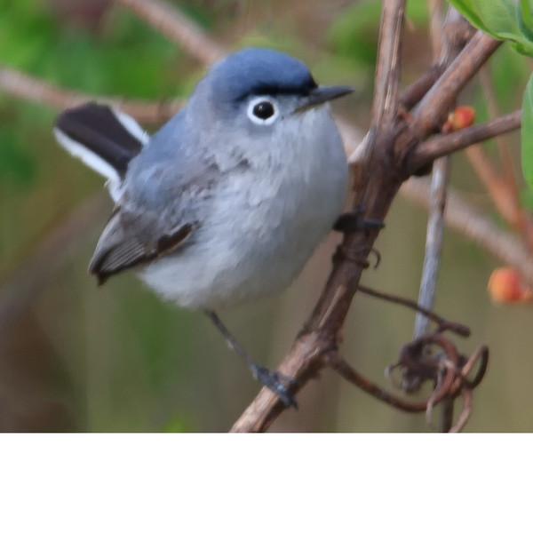 Blue Gray Gnatcatcher (b0703)