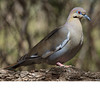White Winged Dove (b0321)