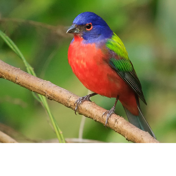Painted Bunting (b0101)