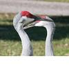 Sandhill Crane (0211)