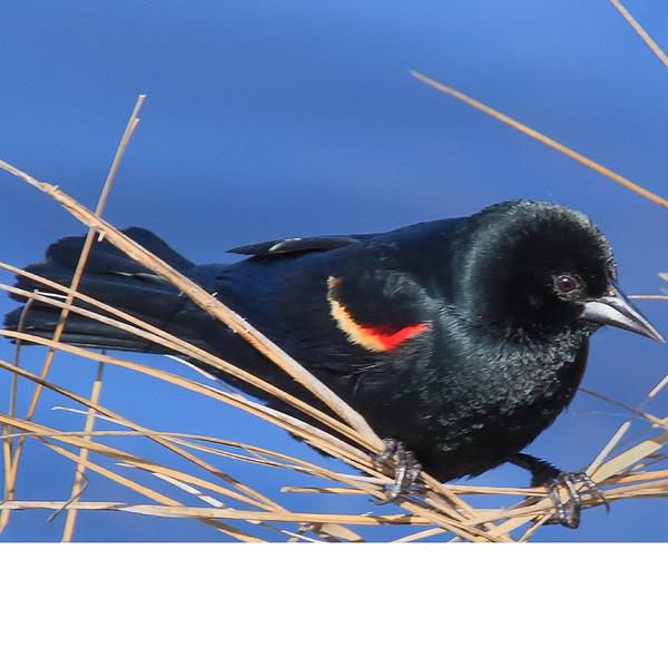 Red-Wing Blackbird (b0052)
