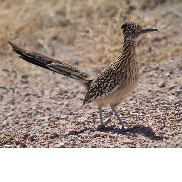 Greater Roadrunner (b1842)
