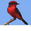 Vermilion Flycatcher (b0652)