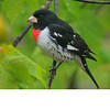 Rose Brested Grosbeak (b0831)