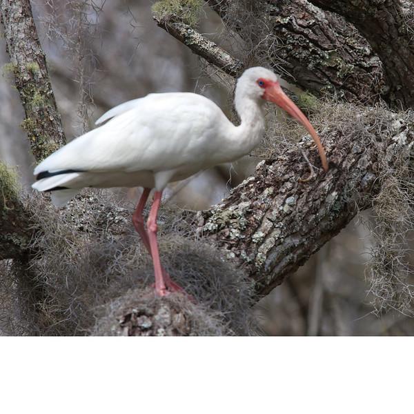 White Ibis (b1086)