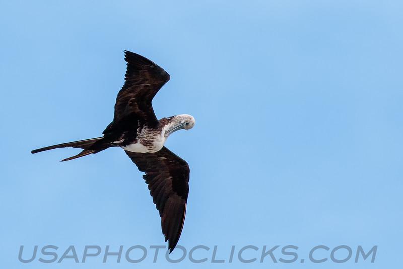 Magnificent Frigatebird (b2911)