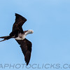 Magnificent Frigatebird (b2911)